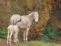 Nace un nuevo asno somalí en el Parque de Cabárceno