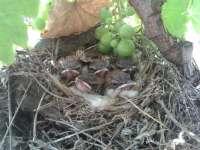 SEO/BirdLife y la Fundación Doñana 21 se unen para trabajar sobre la avifauna en los viñedos del Condado