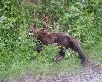 Fapas rechaza que la muerte del oso de Quirós haya sido por un ataque de otro ejemplar