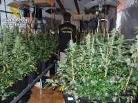 Localizadas más de 400 plantas de marihuana en una vivienda de Bicorp
