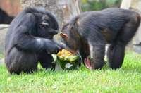 Bioparc refresca a sus animales con zumos congelados y helados gigantes