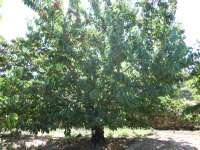 Aragón realizará trabajos técnicos para la identificación varietal de cerezo y peral