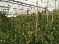 Detenidas cinco personas y desmantelado un invernadero con 576 plantas de marihuana en Salobreña