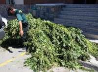 Desmantelan dos cultivos de marihuana con 35 plantas y detienen a seis personas en El Ejido