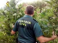 Intervenidas más de 100 plantas de marihuana, con tres detenidos y tres imputados