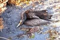 El Cormorán grande y el Zampullín cuellinegro las especies con mayor presencia en el Mar Menor