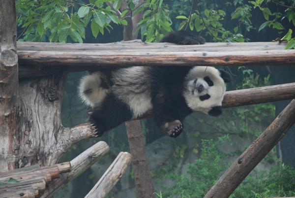 <p>Oso panda</p>
