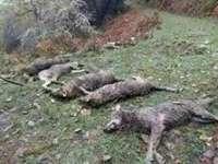 Piden 4.000 euros de fianza a FOP y Gedemol para ser acusación en la matanza de lobos de Camaleño
