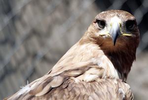 <p>Águila imperial</p>