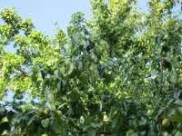 Una quincena de empresas frutícolas de Fraga recibirán la visita de importadores emiratíes