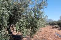 UPyD pide que exista una prohibición expresa de importar olivos a Baleares