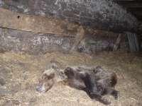 Fapas cree que la osa hallada en Belmonte de Miranda murió envenenada