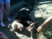 Piden dos años de prisión para los acusados por la muerte de un oso pardo en Porley, Cangas del Narcea