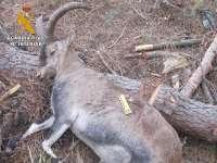 Dos imputados por cazar de manera furtiva a una cabra montés en la Sierra Almijara