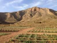 Asocialoe estima que este año se recolectarán aproximadamente 16.000 toneladas de hoja de aloe vera en España