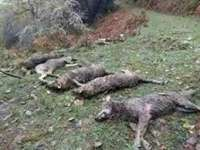 Suspendida la batida de lobos de Rasines por la niebla