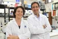 Investigan el uso de biomateriales con polímeros para la regeneración de neuronas tras una lesión cerebral