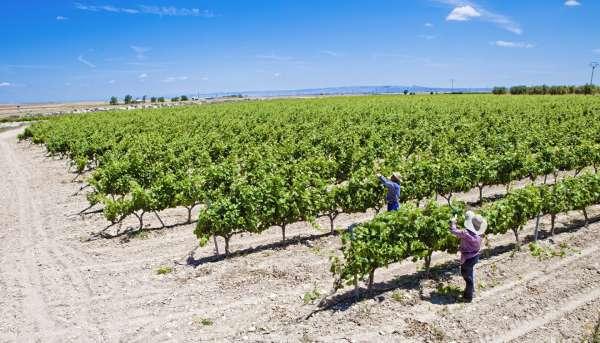 Más de 200 viticultores extremeños reciben 5,5 millones en ayudas a la reestructuración y reconversión de viñedo