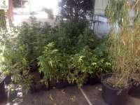 La Guardia Civil desmantela una plantación de marihuana en El Rosario (Tenerife)