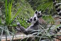 Jungle Park (Tenerife) amplía su familia con dos nuevas parejas de lémur de cola anillada