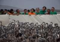 Más de 600 pollos de flamenco son anillados por 450 voluntarios en la laguna de Fuente de Piedra