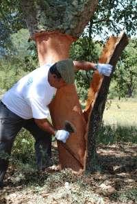 Finaliza la campaña del corcho en la Serranía de Ronda, con unos 3,5 millones de kilos recogidos