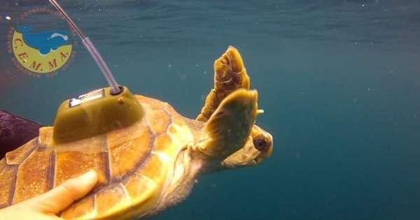 Rostro, la primera tortuga que documenta su viaje de Galicia al Caribe