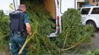 La Guardia Civil se incauta de 983 kilos de marihuana oculta en plantaciones de la Litera y Somontano