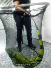 Sucesos.- Capturada en Bami una iguana de casi dos metros