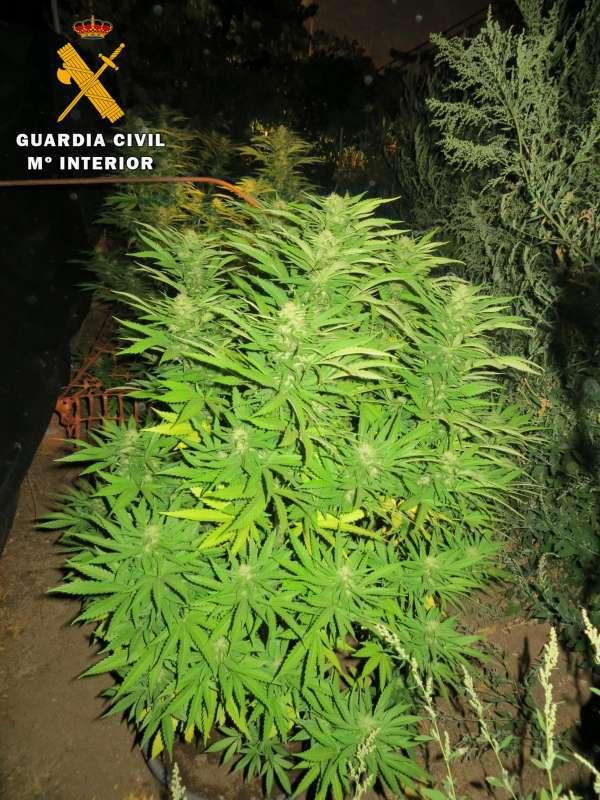 La Guardia Civil de Ávila detiene a una persona por cultivo de marihuana en Navaluenga (Ávila)