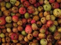 El SERIDA organiza una jornada para presentar las nuevas variedades de manzano seleccionado