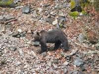 Las limitaciones para proteger al oso pardo no son incompatibles con la caza, según la ONC y la Fundación Oso Pardo