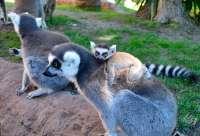 Nace en Bioparc Fuengirola una cría de lémur de cola anillada