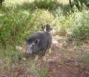 Capturan a tres cerdos vietnamitas en Falset (Tarragona)