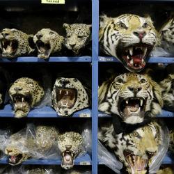 Leopardos