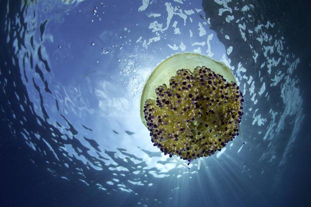 Cu nto sabes sobre las medusas trivials en - Como se alimentan las medusas ...