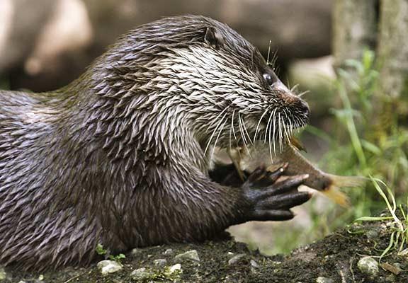 ¿Cuánto sabes de especies que invaden la Península Ibérica?