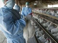 Francia sacrifica 600.000 patos por la gripe aviar