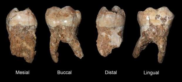 Piezas dentales fosilizadas