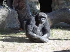 Un chimpancé