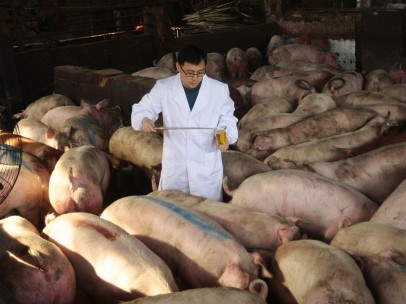 Cerdos intoxicados en China