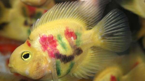 Peces tatuados una pr ctica exc ntrica y cruel que se for Imagenes de peces chinos