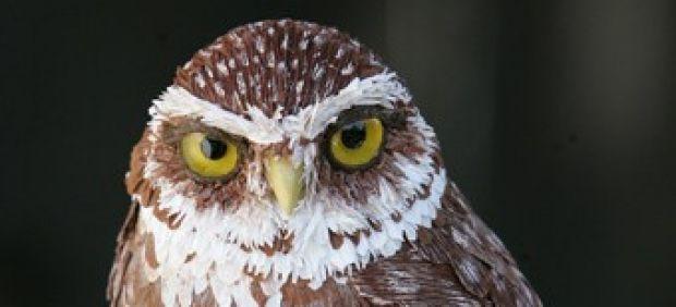 'Burrowing Owl' ('Mochuelo de madriguera')