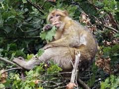 El mono de Gibraltar, una especie en peligro