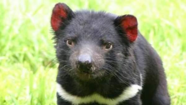 El demonio de Tasmania es un animal agresivo y feroz