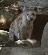 El zoo de Barcelona vuelve a tener hienas
