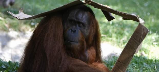 Orangután acalorado
