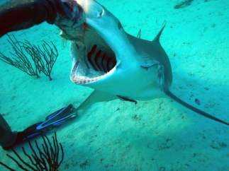 Dando de comer a los tiburones