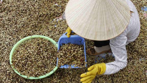 Recogida de café en Vietnam