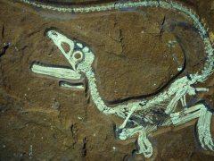 Hallan tejido cerebral fosilizado de un dinosaurio